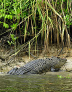 VIEW CROCS ON THE DAINTREE RIVER CRUISE