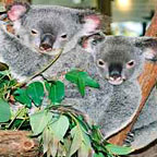 KURANDA KOALA GARDENS UPGRADE