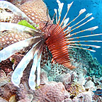 BEAUTIFUL LIONFISH