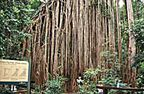 GIANT CURTAIN FIG TREE