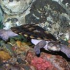 fresh water turtle