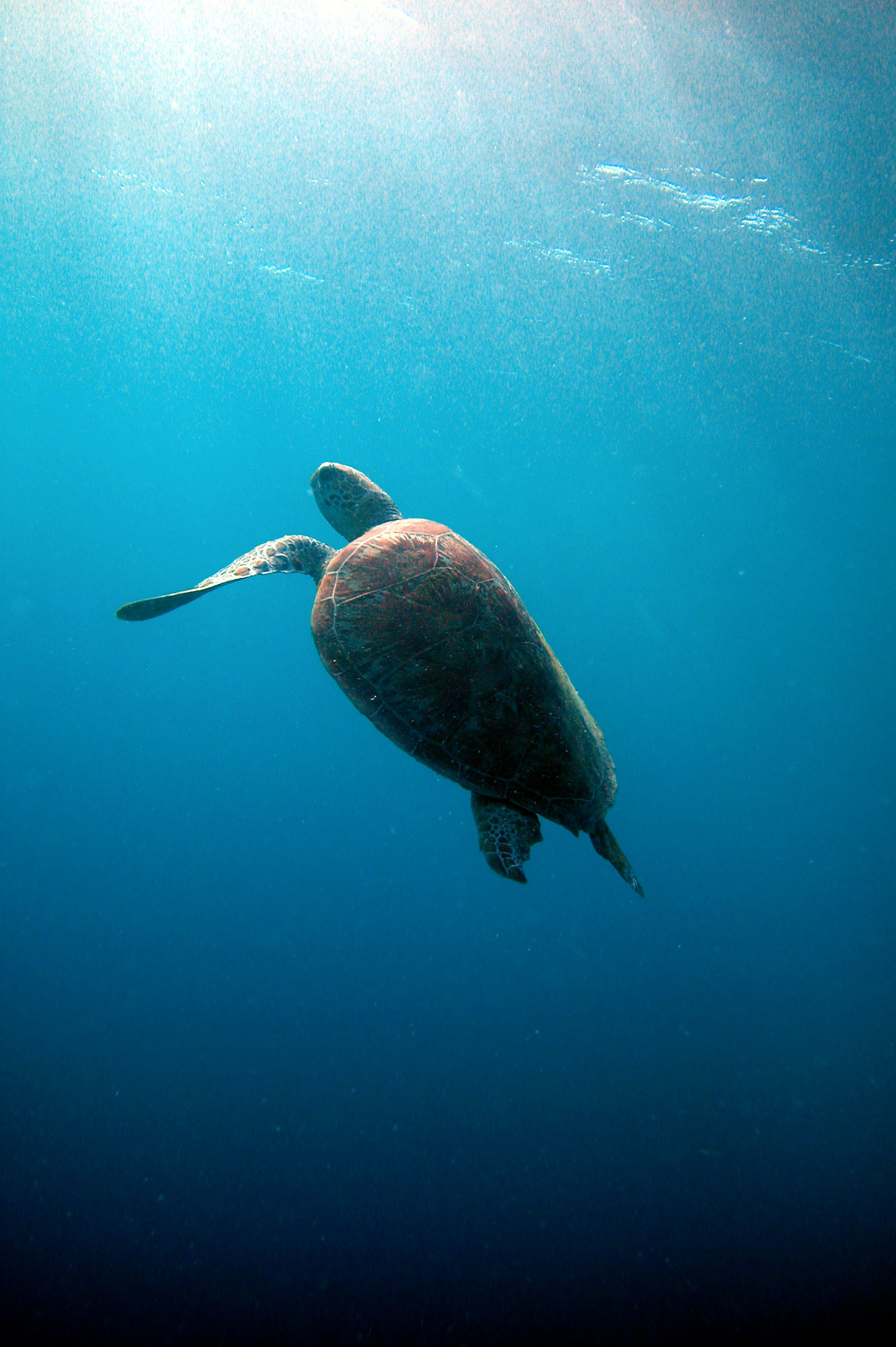FASTEST SEA TURTLE ON THE REEF