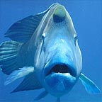 MAORI WRASSE ALSO KNOWN AS 'WALLY'