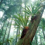 large Asplenium nidus