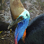 CASSOWARY UP CLOSE