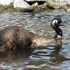 EMU GOES FOR A SWIM