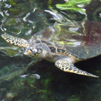 TURTLE AT MARINELAND MELANESIA