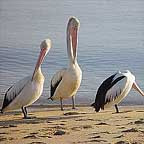 PELICANS ON THE CAIRNS ESPLANADE