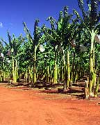 BANANA PLANTATION AT MT UNCLE DISTILLERY