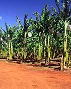 BANANA PLANTATION AT MT UNCLE DISTILLERY