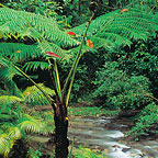 RAINFOREST SOUTH OF CAIRNS
