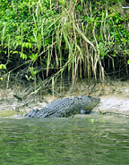 LARGE CROC ON THE BANKS OF THE DAINTREE