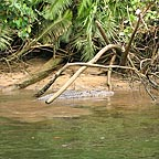 LARGE SALTWARTER CROCODILE