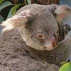 koala at the dome