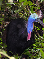 NEVER APPROACH CASSOWARIES