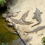 CROCODILES AT KOALA GARDENS