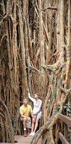 CATHEDERAL FIG TREE NEAR LAKE TINAROO