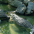 LARGE CROCODILE AT THE RAINFOREST HABITAT