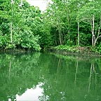 MANGROVES ON THE DAINTREE RIVER