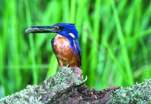 Kingfisher Daintree Rainforest